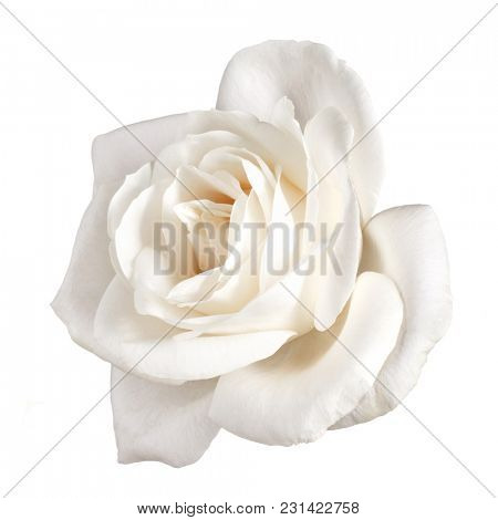 one white rose flower isolated on white background cutout