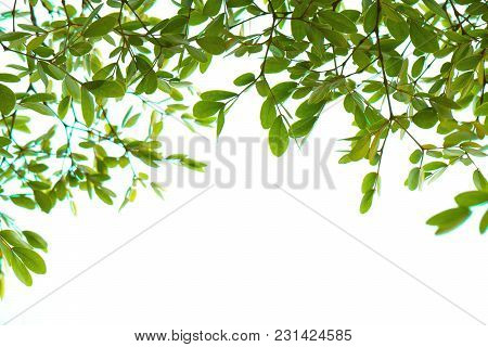 Closeup Green Leaf Isolated On White Background Of File With Clipping Path .