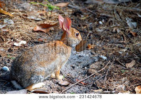 Wild Rabbit In A Wooded Area Background.