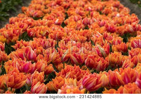 Tulip Fields Of The Bollenstreek, South Holland, Netherlands