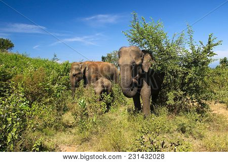 Elephant Family Elephas Maximus, In Udawalawe National Park Sri Lanka
