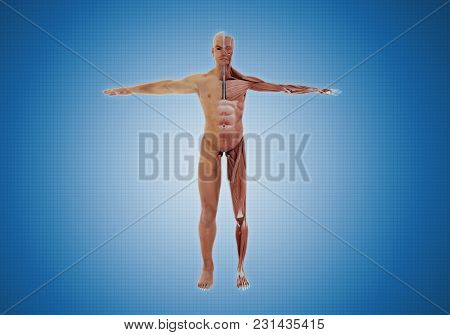 Human Body Anatomy, Skin And Muscular System Overlay. 3d Rendered Image Of Body Anatomy Muscular Sys
