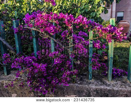 Purple Flowers In A Garden From A Village In Sardinia
