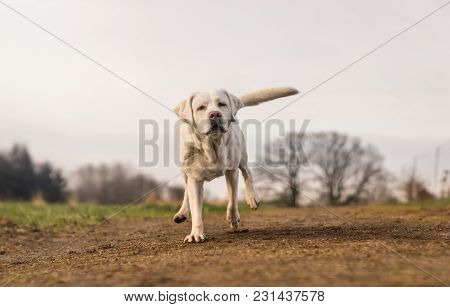 Young Cute Purebred Labrador Retriever Dog Puppy Running On A Meadow With Copy Space