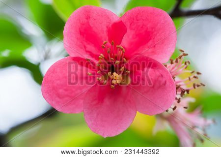 Red Malus Spectabilis Flower Also Know As Chinese Crabapple In Springtime, Chengdu, China