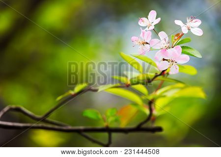 Pink Malus Spectabilis Flower Also Know As Chinese Crabapple In Springtime, Chengdu, China