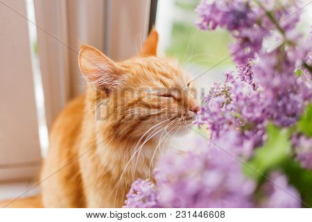 Cute Ginger Cat Smelling A Bouquet Of Lilac Flowers. Fluffy Pet Frowning With Pleasure. Cozy Spring