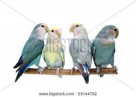 Four of Peach-faced Lovebirds