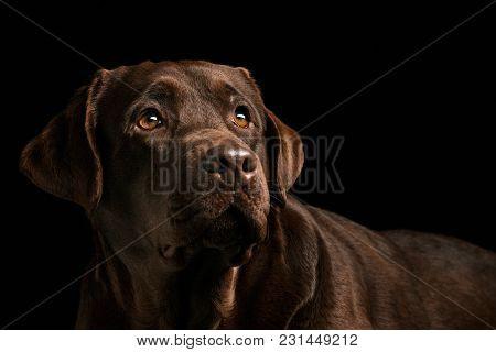 A Portrait Of A Black Labrador Dog Taken Against A Black Backdrop At Studio.