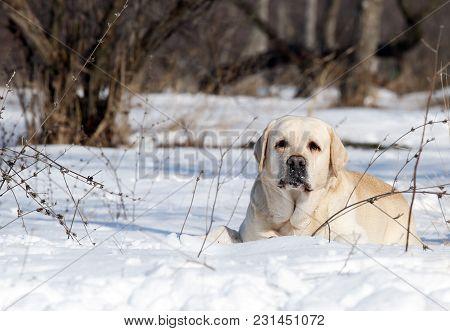 The Yellow Labrador In Winter In Snow Portrait