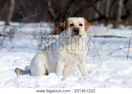 A Yellow Labrador In Winter In Snow Portrait