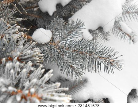 Winter Spruce Branches In The Snow On A Frosty Day Covered With Frost