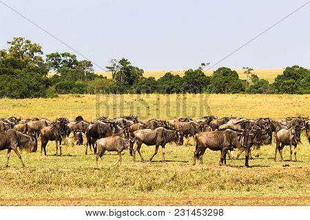 Small Herd Of Wildebeest In Savanna. Masai Mara, Kenya