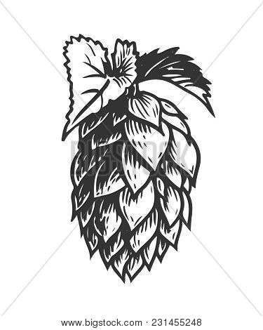 Hand Drawn Hops Herb Plant Which Is Used In The Brewery Of Beer. For Labels And Packaging. Vector En