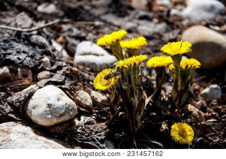 The Bee On The Bouquet Of The Dandelion In The Spring