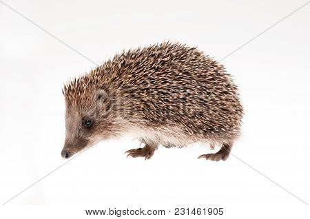 Small Hedgehog On White Background - Studio Shot