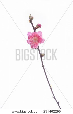 Peach blossom flower isolated on white background