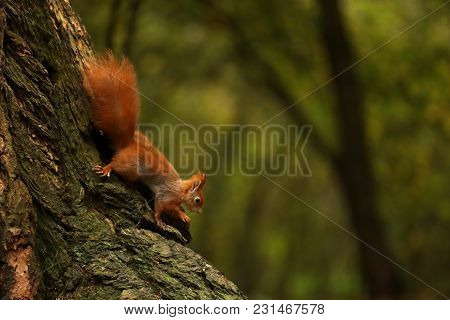 Arboreal Red Squirrel Climbing Down The Tree