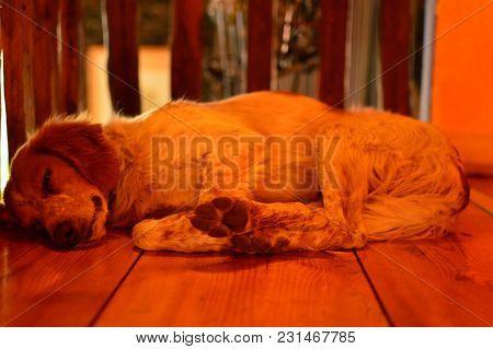 English Setter Getting A Good Nap At Home. Animals Dogs Spain October 21, 2017. Segovia Castilla Leo