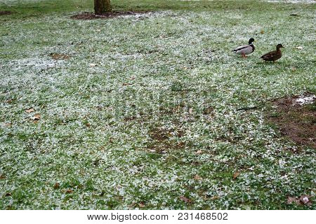 A Duck And A Drake In A Meadow With Melting Snow.