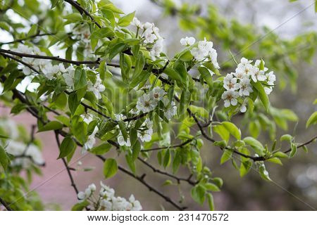 Flowering Branch Of Pear Blooming Spring Garden. Flowers Pears Close-up. Blurred Background. A Brigh