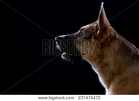 Photo Of German Shepherd Waiting Command On Black Background