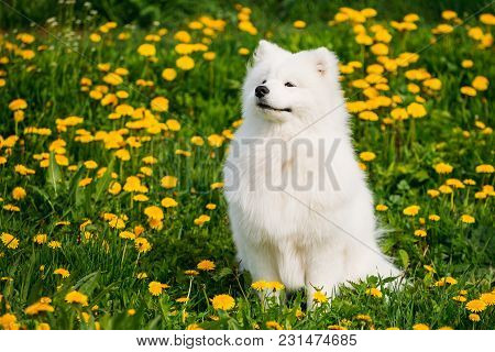 Funny Young Happy Smiling White Samoyed Dog Or Bjelkier, Sammy Sit Outdoor In Green Spring Meadow Wi
