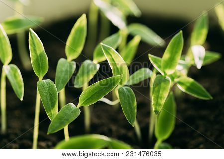 Group Young Sprouts With Green Leaf Or Leaves Growing From Soil. Spring Concept Of New Life. Start O