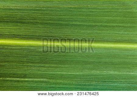 Grass Blade Green Leaf Close-up. Veins Of The Leaf.
