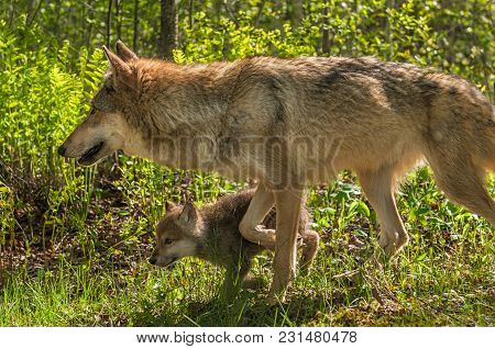 Grey Wolf (canis Lupus) Mother And Pup Move Left - Captive Animals