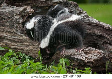 Striped Skunk Doe (mephitis Mephitis) And Kit Look Down Log - Captive Animals