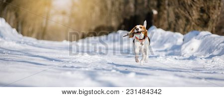 Beagle Dog Runs And Plays In The Winter Forest On A Sunny Frosty Day. Walking Dog