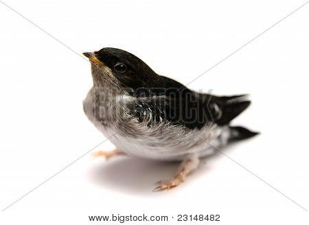 Baby bird of Sand Martin swallow on white
