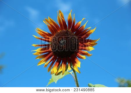 Orange And Yellow Sunflower Fully Bloomed Against A Bright Blue Sky