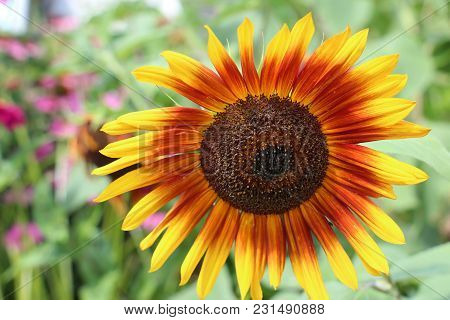 Bright Orange And Yellow Sunflower Fully Bloomed Against Lush Green Background