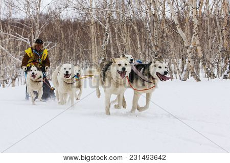 Petropavlovsk, Kamchatka Peninsula, Russia - Mart 04, 2018: Running Sled Dog Team. Kamchatka Sled Do
