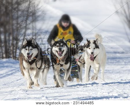 Traditional Kamchatka Dog Sledge Race Elizovsky Sprint.