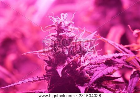 Bud Cannabis Grown Under Lamps Led . The Concept Of Growing Medical Marijuana Under Artificial Light