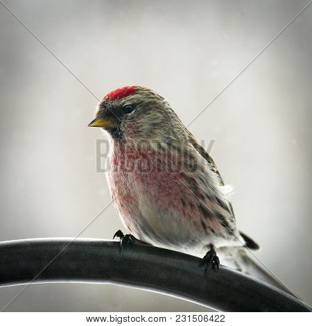 Common Redpoll Bird, Acanthis Flammea, Male Perched Facing Left. Soft Background.