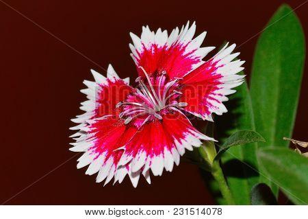Close Up Of Dianthus Chinensis China Pink, Pune