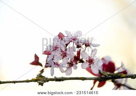 Blooming Sakura Tree Branch In Redmond - 2018,1