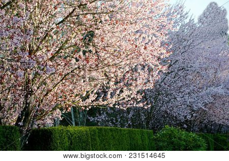Early Sunset Highlights Blooming Cherry Trees In Seattle Suburb - 2