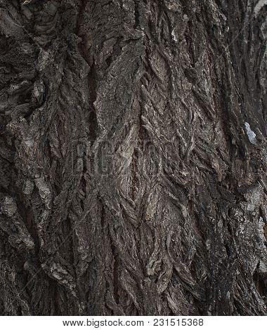 Poplar bark. Cottonwood tree. Natural background. Wooden background. Brown bark. Grunge bark tree.