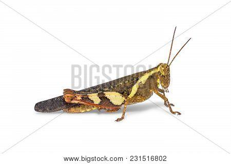 Rufous-legged Grasshopper (xenocatantops Humilis)