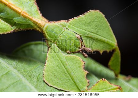 Close Up Of Leaf Insect (phyllium Westwoodi)