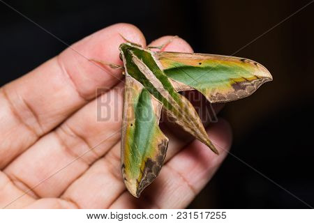Green Pergesa Hawkmoth