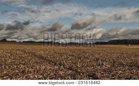 Beveled Cornfield. Agricultural Field, Which Collected Mature Corn Crop, Beveled Yellowed Stalks In