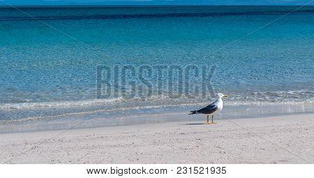 Seagull Walking On Desert Beach