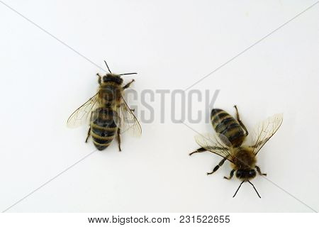 Two Bees Top View Close Up Isolated On White.