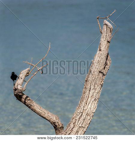 A Carib Grackle (quiscalus Lugubris Lugubris) On A Wood In Martinique Beach